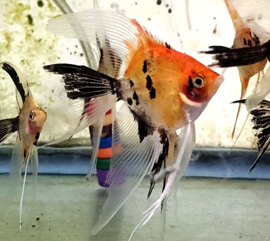 Angelfish - Orange Koi Veil - Medium